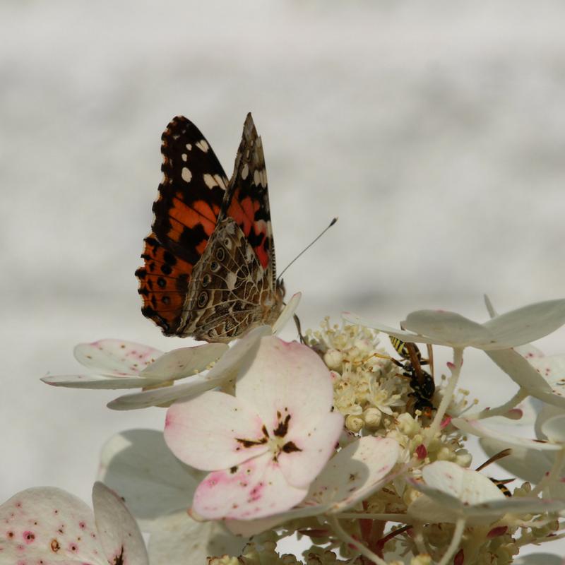 Attirer les papillons dans notre jardin – Les Aménagements Fleurs-O-Pavé