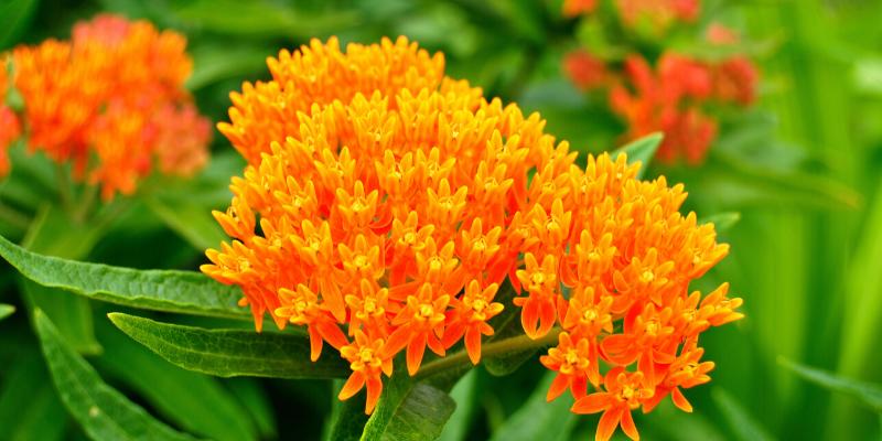 Plante vivace : Asclépiade tubéreuse