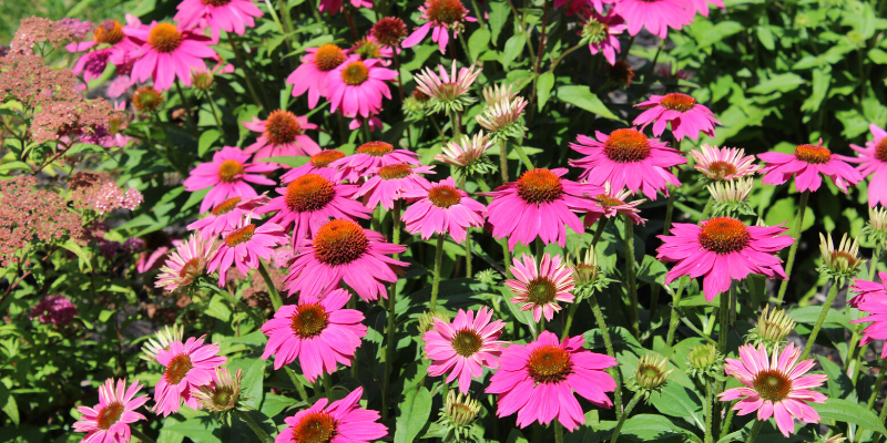 Plante Vivace : Echinacea  'Pow wow Wild berry'