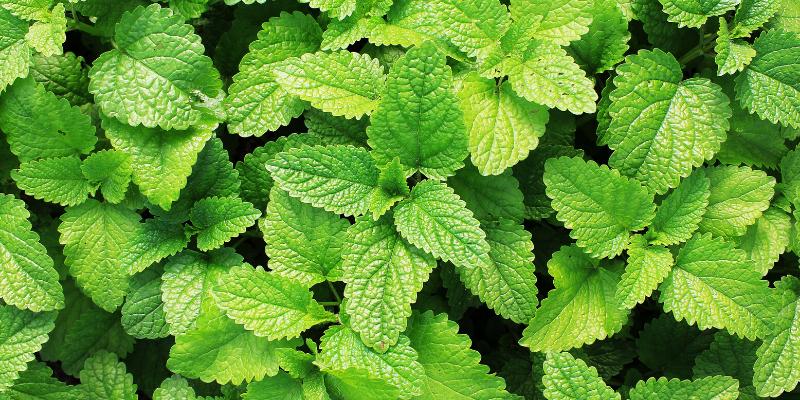 Plante aromatique : La Menthe [Fiche technique + Recette de Mojito]