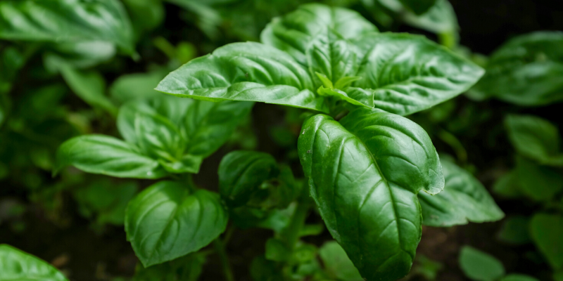 Plante aromatique : Le Basilic [Fiche technique + Recette de pesto]