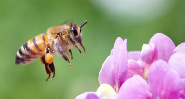 Saviez-vous que vous pouvez aider les abeilles à continuer de bourdonner?
