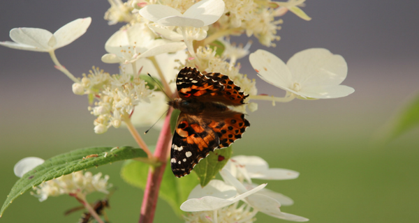 Attirer les papillons dans notre jardin