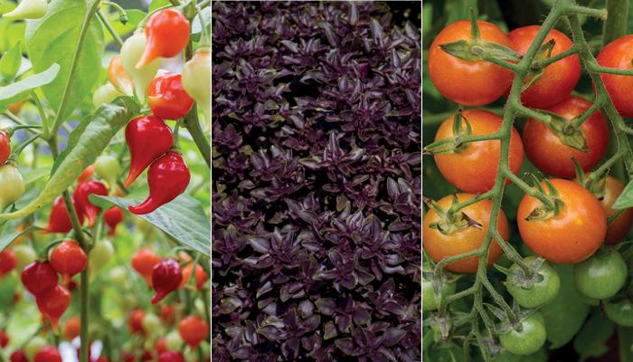 Les Exceptionnelles® 2019, trois plantes potagères à découvrir