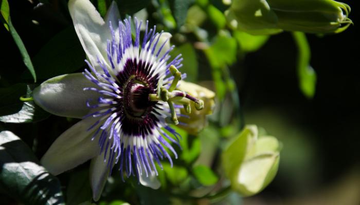 Plante de terrasse: la passiflore