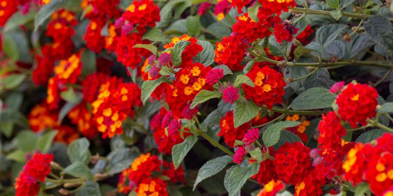Plante annuelle : Lantanier à fleurs variées Hot Blooded™ Red