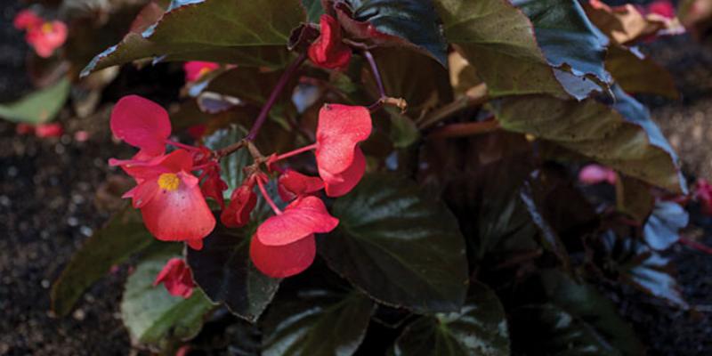 Plante annuelle : Bégonia Viking™ XL Red on Chocolate
