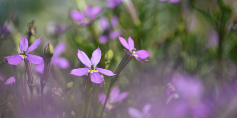 Plante annuelle : Isotome à fleurs axillaires Patti's Pink™