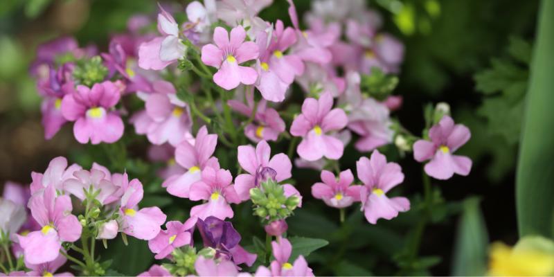 Plante annuelle : Némésie buissonnante Aromance™ Pink