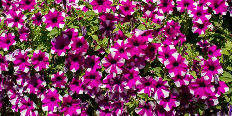 Plante annuelle : Pétunia Shortcake™ Blueberry