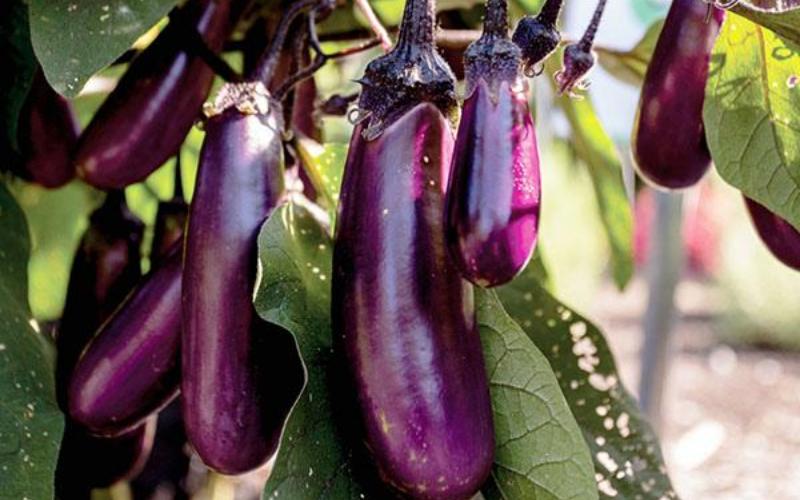 Plante potagère : L'aubergine 'Slim Jim'
