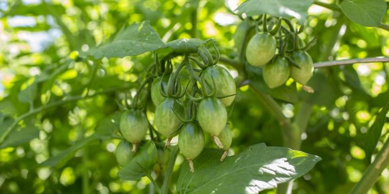 Plante potagère : La tomate 'Green Doctors'
