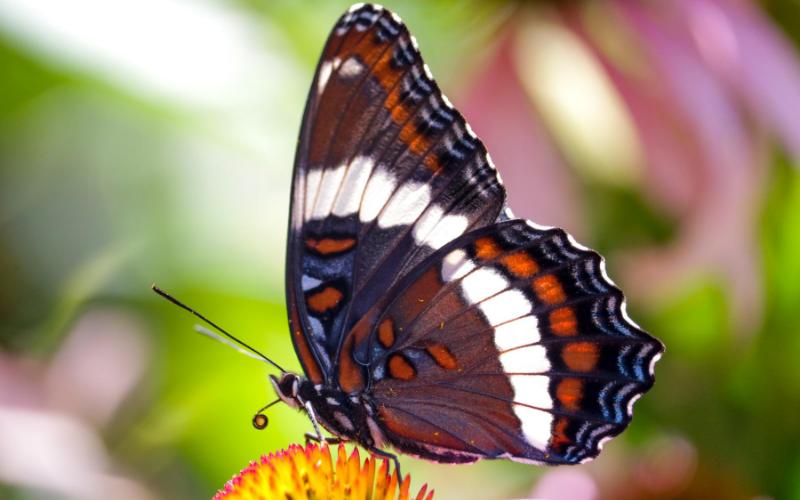 Apprenez-en plus sur le papillon amiral, le futur insecte emblème du Québec