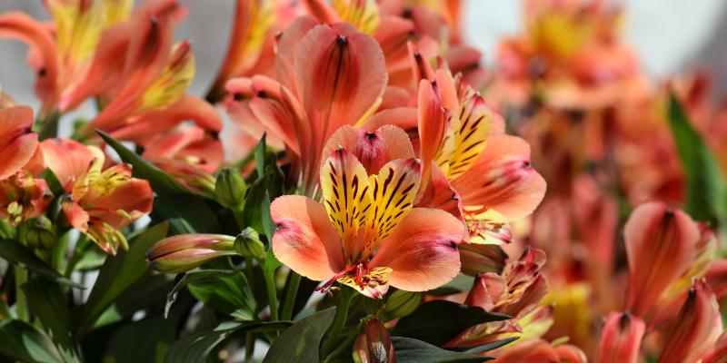 Plante Vivace : L'Alstroemeria