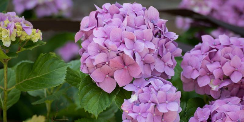 L'hortensia, l'un des plus beaux arbustes à fleurs à avoir au jardin.