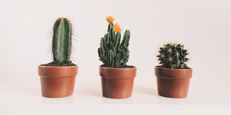 Plante d'intérieur : Le Cactus