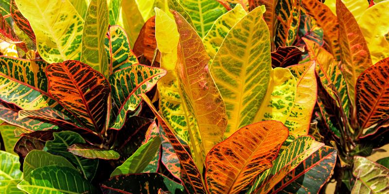 Plante d'intérieur : le Croton