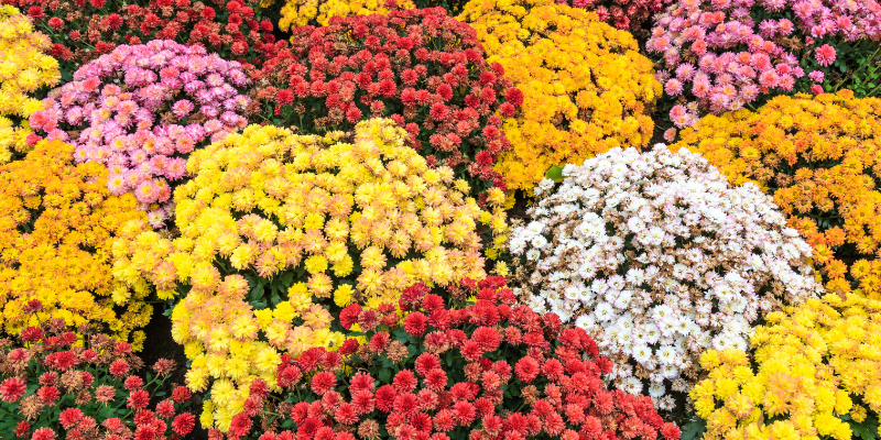 Le Chrysanthème est à l'Agenda des fleurs en octobre