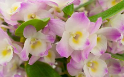 Plante: Orchidée Dendrobium